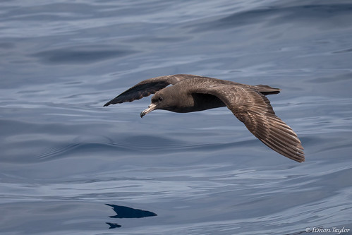 Flesh-footed Shearwater (Ardenna carneipes) | by STaylor74