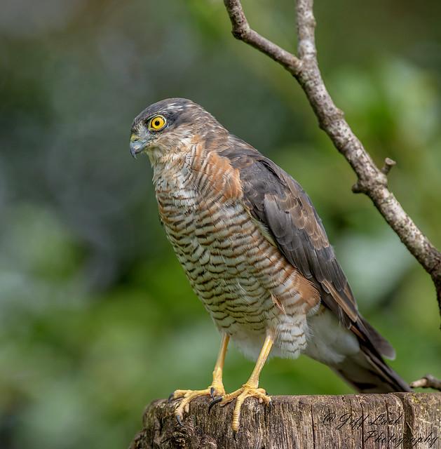 DSC1675  Sparrowhawk..