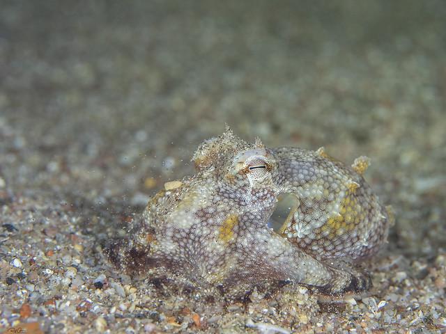 Marbled Octopus - Amphioctopus Aegina
