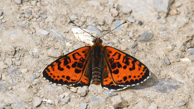 Spotted Fritillary butterfly - Melitaea didyma