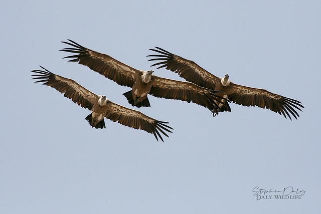 Griffon Vultures (Gyps fulvus) adults_w_4491