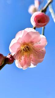 梅(八重桜?)