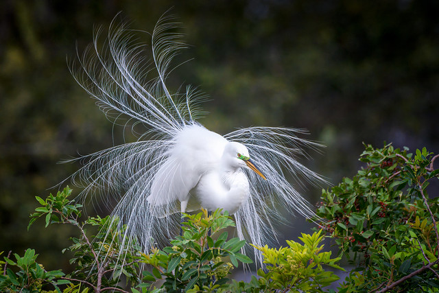 Wind blowing the silky breeding plumage of a nesting Great Egret at Audubon Venice Rookery, Venice, Florida
