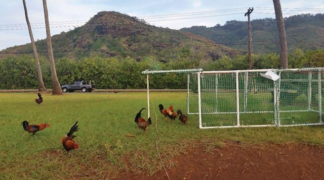 Chickens near a trap