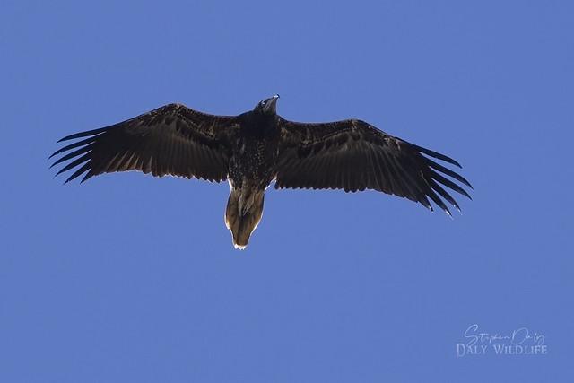 Egyptian Vulture (Neophron percnopterus) juvenile flight_w_1834