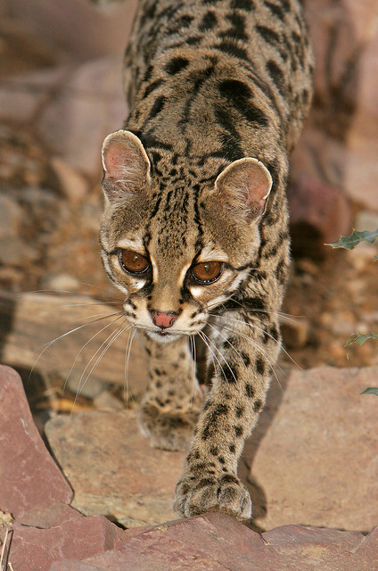 Margay - Small Spotted Cat - In Explore