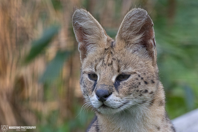 Serval - Fauna Park Flakkee - The Nehtelands