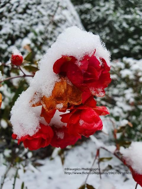 Hohengehren, frozen rose