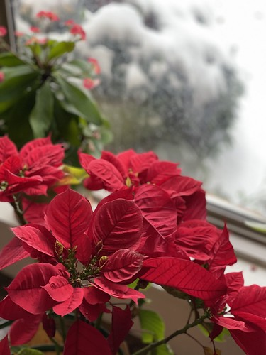 Poinsettias.... keeping the Christmas mood alive! | by Sandy Hibbard