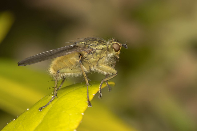 Dungfly