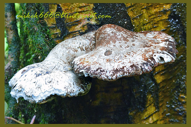 fungus rhymney valley ridgeway walk feb 2021