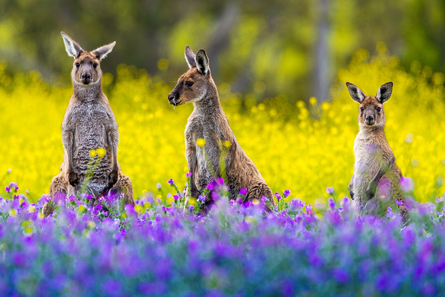 A trio of Roos, actually it's four.