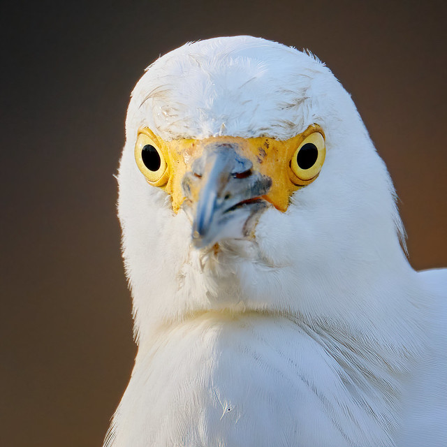 The name is Egret, Snowy Egret!