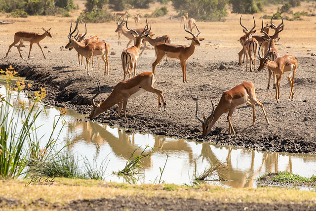 Armchair Traveling - Impala at the Watering Hole, Sweetwaters Tented Camp, Kenya
