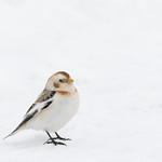 Snow bunting, Croton Point Park