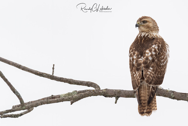 Red-tailed Hawk | Buteo jamaicensis | 2021 - 1