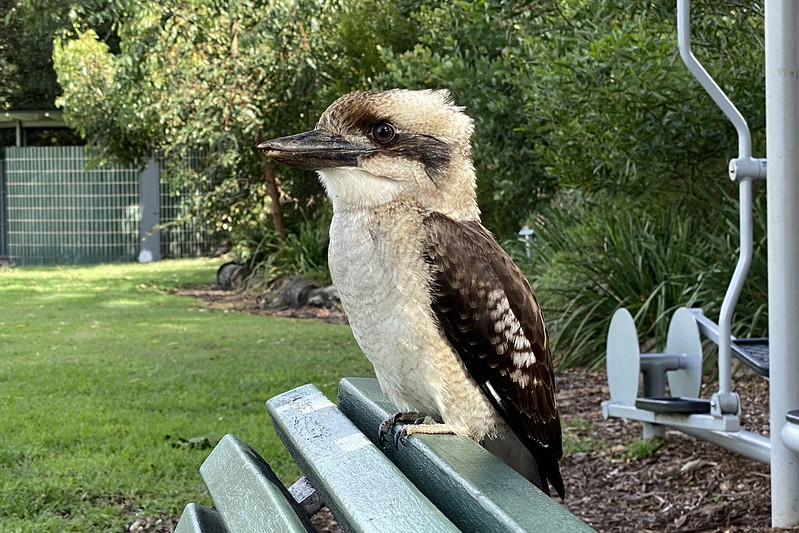 Sharing a park bench with a kookaburra