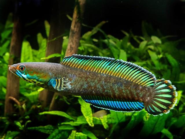 Blue Rainbow Snakehead (Channa Andrao)