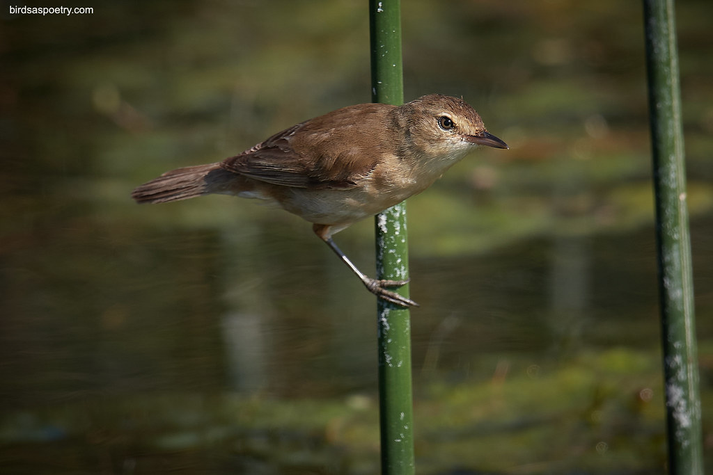 Australian Reed Warbler: Come out to Play