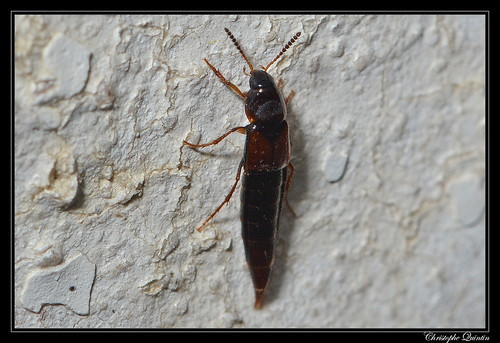 Mycetoporus sp. ?