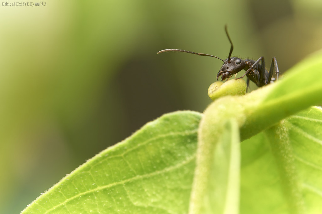 Carpenter ant (Camponotus sp.) at extra-floral nectary