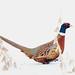 248A2168 'snowy' pheasent