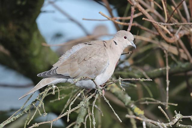Tyrkjadúfa-Collared Dove-Streptopelia decaocto