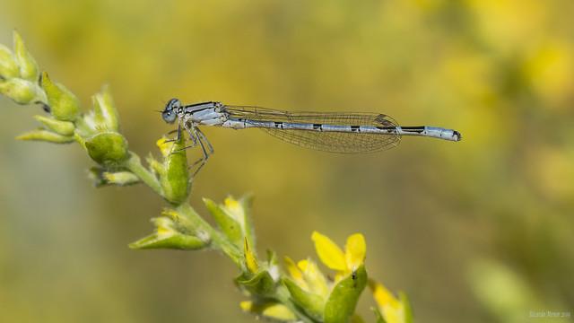 Enallagma cyathigerum. Inmature male