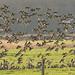 Canards siffleur (Anas penelope)