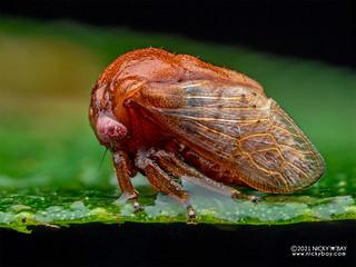 Treehopper (Sipylus sp.) - P2134517