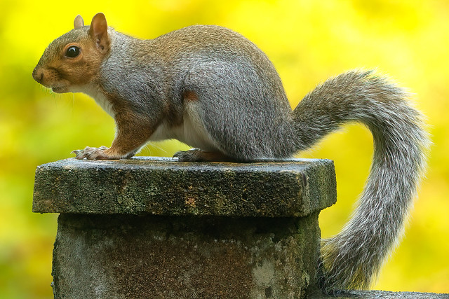 Grey Squirrel at The Roundhouse, Ilfracombe, Devon