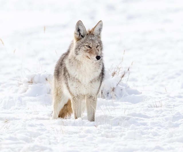 I love to see coyotes in their winter coats. Actually, most animals look great in winter. This beauty ran across the road as I approached Gardiner, Montana on my birthday and gave me a nice show. February, 2021.