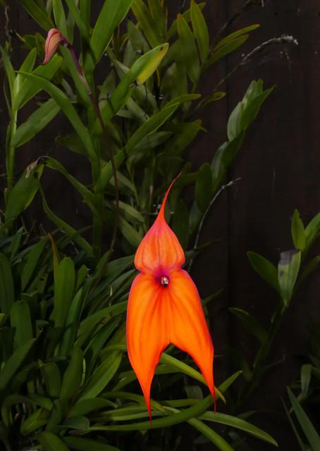 mid-winter bloom of Masdevallia veitchiana 'Sol' species orchid