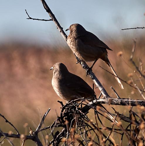 cactuswren coyote bird birds nature scenicnature landscapes mountains