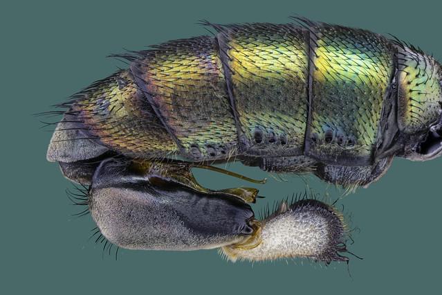 Dolichopus spec. / Langbeinfliege, Männchen, Abdomen mit Genitalapparat /  long legged fly, male, abdomen with genital apparatus