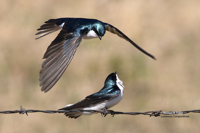Tree Swallow two