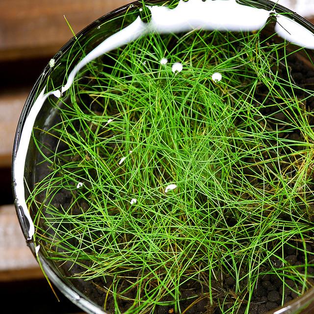 ビオトープの水生植物 チャボイ ショートヘアーグラス 田んぼの雑草 Eleocharis-parvula-20160820