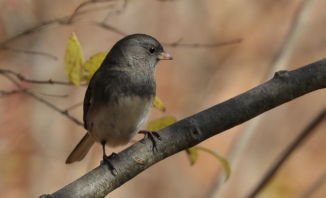 A Posing Dark-eyed Junco