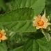 Sida cordifolia, Yorkeys Knob, Cairns, QLD, 16/02/21