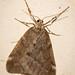Fall Cankerworm Moth (Alsophila pometaria)
