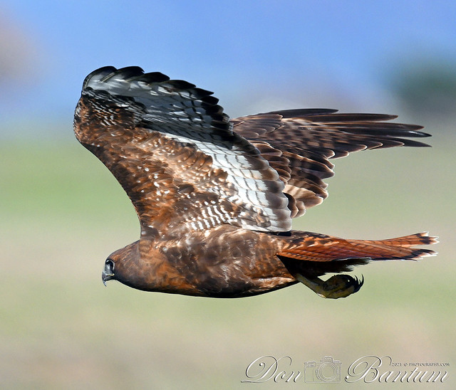 Red-tailed_Hawk_92