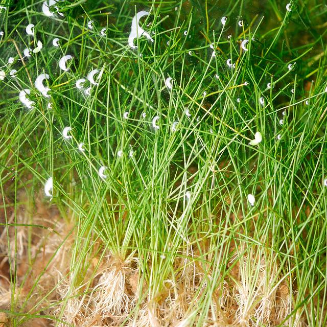 ビオトープの水生植物 ヘアーグラス マツバイ 田んぼの雑草 Eleocharis acicularis
