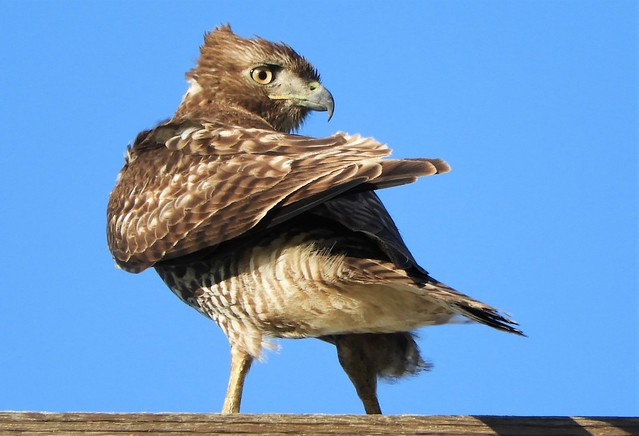 Windblown Hawk