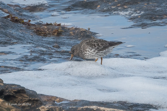 Purple Sandpiper - A first 502_9512.jpg