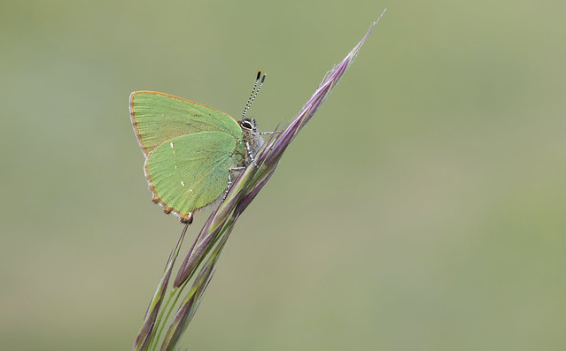 Green Hairstreak (Callophrys rubi).