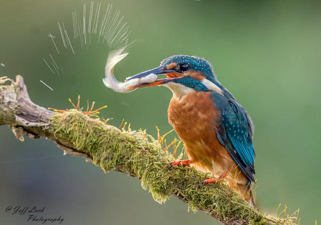 JWL8685  Kingfisher..