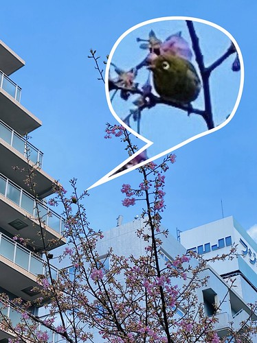河津桜 2021/2/18