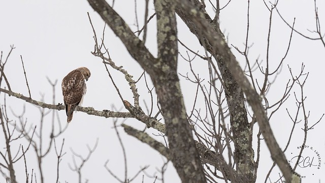 Red-tailed Hawk | Buteo jamaicensis | 2021 - 2