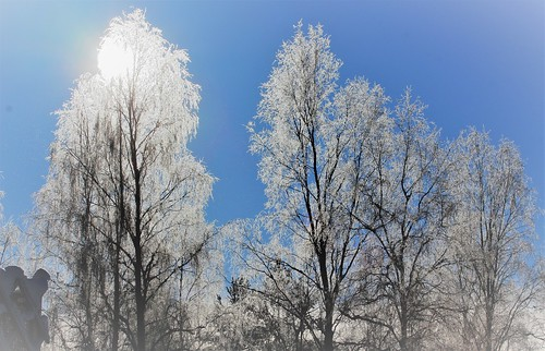 Frosty Birches | by irio.jyske