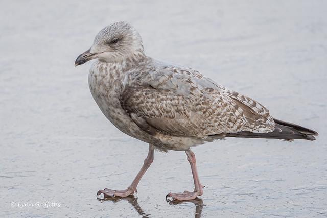 Herring Gull - 1st Winter 503_0007.jpg